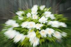 Pivoine arbustive dite japonaise (monilague) Tags: flowers plants white nature fleurs plantes blanches pivoine paeonia peonie japonaise arbustive pivoinearbustive