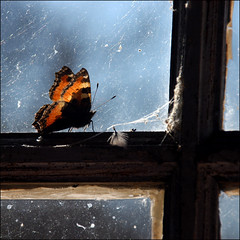 Small Tortoiseshell (*Kicki*) Tags: window butterfly square spring wings spiderweb feather cobweb aglaisurticae smalltortoiseshell ue nsselfjril fjril 2011 kicki roslagen grisslehamn nymphalisurticae vdd kh67