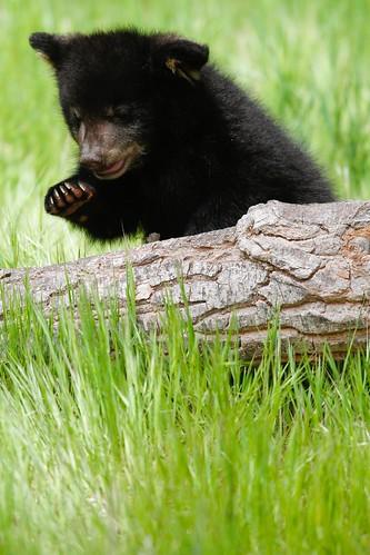Baby black bear-2.jpg
