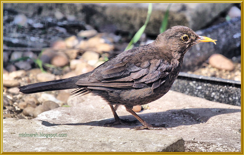 Blackbird with crossed bill