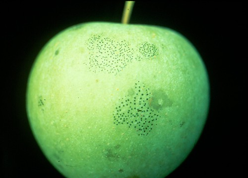 Fly speck on Golden Delicious fruit. Photo courtesy of K. D. Hickey, Penn State Univ.