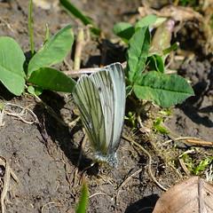 Green-veined White Rapsweißling (Aah-Yeah) Tags: white green butterfly bayern schmetterling achental chiemgau tagfalter marquartstein rapsweisling veinend