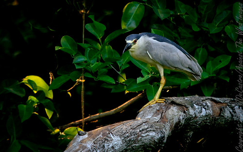Black-crowned Night Heron_MG_6348 by Against The Wind Images