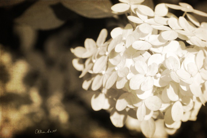 Sepia tone flowers