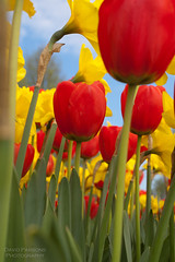 Tulips and Daffodils (alohadave) Tags: flower boston unitedstates tulips massachusetts places daffodil northamerica southboston bostonist marinepark universalhub pentaxk100dsuper smcpda1645mmf40edal