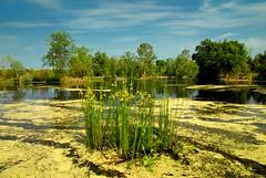 Coffee County, GA (MilkaWay) Tags: trees sky grass pond swamp algae southgeorgia coffeecounty