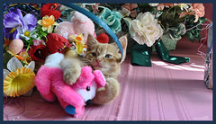 Cute Easter Kitty Cat Kitten in Home Garden Art Decor with Easter Eggs, Stuffed Bunny Rabbits & Spring Flower Basket with Daffodils & Tulips on an Easter Holiday Weekend in Canada. Cute Kitty Cat Kitten ...Kitties Cats Kittens...Cute Kitty Cat Kitten... (Chantal PhotoPix) Tags: family pink flowers decorations friends light wallpaper portrait pet holiday canada flower color cute rabbit bunny bunnies art nature beautiful beauty animal cat photoshop canon painting easter fun photography photo interestingness spring amazing kitten feline funny colorful day basket purple artistic photos sweet pastel background awesome tabby egg interestingness1 kitty best hires baskets mainecoon eggs rabbits lovely multicolored decor hdr cutecat easterbunny eastereggs homeandgarden easteregg cutekitten easterbasket easterrabbit easterbunnies easterbaskets homegarden chantalc easterrabbits lolcats chantal777livecom
