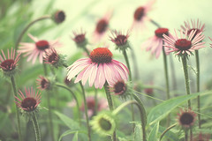 pink & green e3 (Morningdew Photography) Tags: pink flowers summer toronto ontario canada green canon vintage soft bokeh shining muted tistheseason simplybeautiful theworldwelivein floralessence artistictreasurechest worldsartgallery t1i beyondbokeh magicunicornverybest exoticimage TGAM:photodesk=lowangle