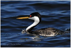 Western Grebe (Aechmophorus occidentalis) (Sharon's Bird Photos) Tags: waterbird northdakota westerngrebe stumplake supershot nelsoncounty specanimal avianexcellence slbswimming