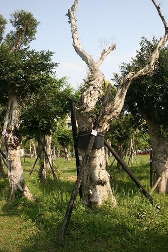 這棵樹光禿禿,看不出是否存活。