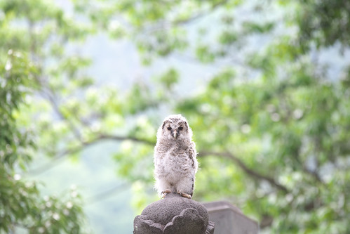 a japanese wild baby owl フクロウの子供 2011-05-22