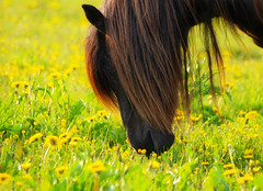 A Horse With No Name (Peter Nyhln) Tags: flowers horse flower sweden olympus hst gullberg e520 zuiko70300mm olympuse520 100commentgroup kinnahult peternyhln mygearandme photoshopelements9
