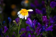Flowers (Theophilos) Tags: flowers nature spring crete rethymno λουλούδια κρήτη φύση άνοιξη ρέθυμνο