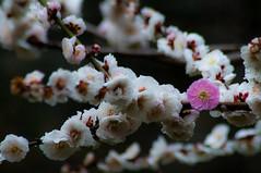 _ROW0528 (Alex Rowan) Tags: plants flower alex japan kyoto asia downtown  cherryblossom rowan plumblossom  nijojo nijocastle  centralkyoto  alexrowanphotography