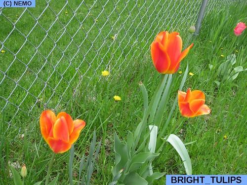 bright_tulips