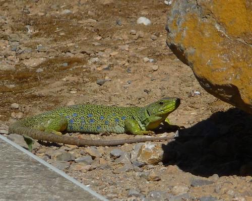 Local Lizard