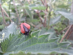 Flickr: Cardinal beetle - countryside near Leiden, The Netherlands