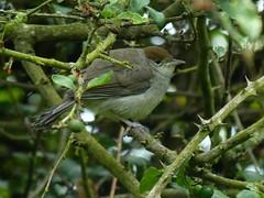 Young Blackcap (ukstormchaser (A.k.a The Bug Whisperer)) Tags: uk bird birds animal animals wildlife young may milton keynes juvenile warbler blackcap warblers