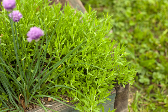 lavender... and chives