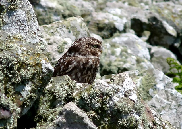 24384 - Little Owl, Skomer