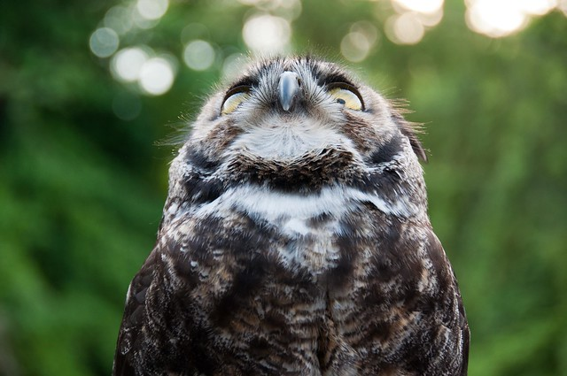 Darwin, the Great horned owl