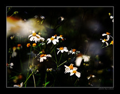 Like a dream [explored] (e.nhan) Tags: flowers light white black flower art nature yellow closeup daisies landscape colorful colours shadows dof bokeh arts daisy backlighting enhan