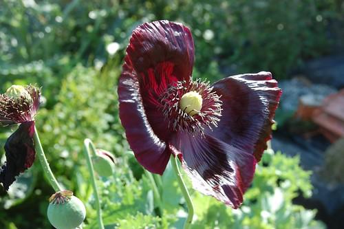 black opium poppy