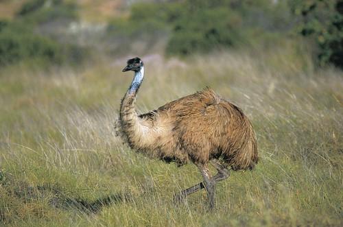 Emu in Cape Range Nat Park (2) (2).jpg