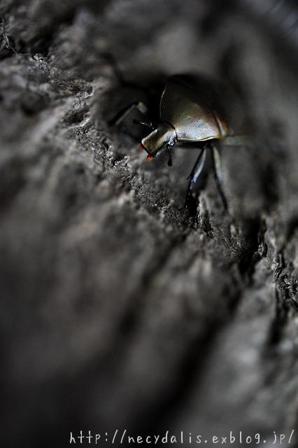 カナブン [Rhomborrhina japonica]