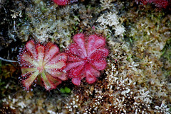 Sundews on Table Mountain (crafty--fox) Tags: red mountain plant detail sticky capetown hike tiny sundew carnivorous fynbos tentacles