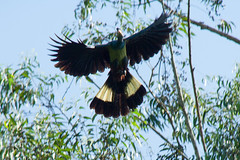 order: Musophagiformes. Great Blue Turaco - Bigodi Wetland Sanctuary, Uganda