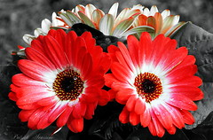 The crying of a flower (socioclic) Tags: flowers red plants water eyes tears crying gerbera fiori acqua rosso piangere