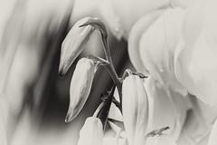 In White (Gikon (Back in August)) Tags: bw white plant flower monochrome closeup nikon dof artistic details simplicity deptoffield 55200mm gikon d3100