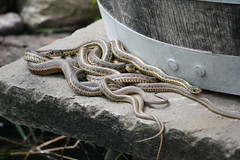 All in a Tangle (eyriel) Tags: sun nature rock snake wildlife snakes gartersnake sunning