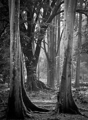 Mystic forest (Julien_V) Tags: blackandwhite bw usa forest hawaii noiretblanc maui fort hawa