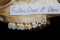 UpperTeethLateral (JRochester) Tags: male skeleton teeth deer upper bone fallow dama osteology