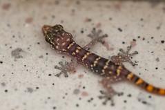 Little Lizard Guy (dwarfland) Tags: ifttt 500px lizard macro curaao animal