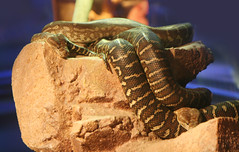 Slithering Snakes (shaire productions) Tags: animals image picture reptile creature nature snake serpent scales scaley coils coiled slither slithering sleeping academyofsciences