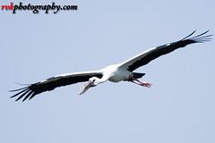_DSC3327 (rvk82) Tags: 2016 birdsanctuary birds india nikkor200500mm nikon nikond500 october2016 photography rvk rvkphotography raghukumarphotography southindia tamilnadu vedanthangal vedanthangalbirdsanctuary wildlife rvkphotographycom in