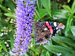 """"""" Red Admiral """" (seanwalsh4) Tags: butterfly insect red admiral nature hebe bristol sean walsh feeding nice delicate flap"""