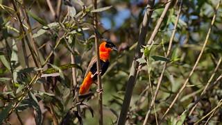 Orange Bishop, male, Huntington Beach CAL CQ4A9509