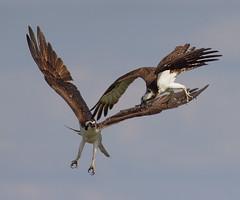 IMG_4331A Osprey conflict (cmsheehyjr) Tags: cmsheehy colemansheehy nature wildlife bird osprey hawk fishhawk rappahannockriver virginia pandionhaliaetus