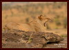 YAWNING FEMALE LIONESS (Panthera leo)......MASAI MARA......SEPT 2016 (M Z Malik) Tags: nikon d800e 400mmf28gedvr kenya africa safari wildlife masaimara keekoroklodge exoticafricanwildlife exoticafricancats flickrbigcats lions leo ngc npc
