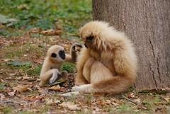DSC03202 (hofferp) Tags: animallove animalphotos animals zoobudapest zoolife hungary sostozoo sonya300 sonydslr sonycam tiger whitelion littlepanda katta lion zebra orangutan