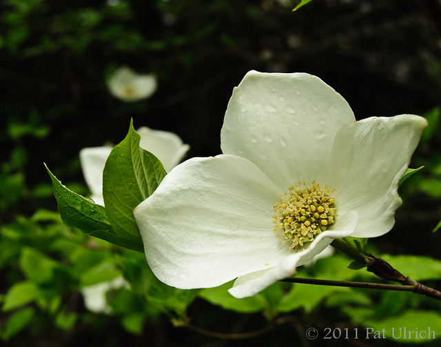 Dogwood blossom in Yosemite National Park