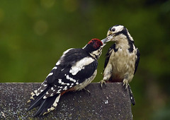 GSWPs_6264 (Peter Warne-Epping Forest) Tags: new garden woodpecker essex greatspottedwoodpecker withyoung