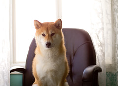 Throne (kaoni701) Tags: portrait dog puppy japanese 50mm bokeh highkey f18 suki shibainu  olymus epl2