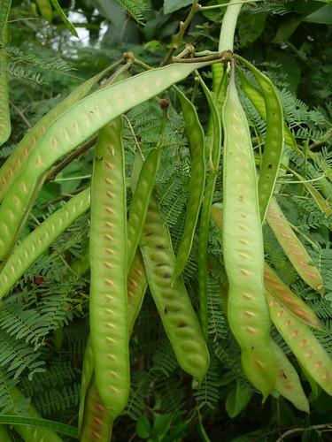 Trái Keo Giậu, Bình Linh..  Leucaena leucocephala  họ đậu  Fabaceae