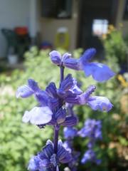 Salvia (AriadnefromGreece) Tags: blue summer colour week 2011 poppytalk