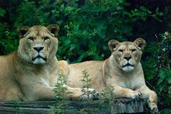 Port-Lympne-Lion/Lioness (Elly Warner) Tags: animal animals zoo nikon wildlife dslr safaripark portlympne nikond80 ellywarner